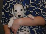 Собаки, щенята Далматин, ціна 700 Грн., Фото
