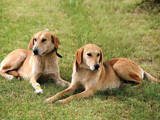 Собаки, щенки Ганноверская гончая, цена 3500 Грн., Фото