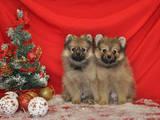 Собаки, щенята Малий шпіц, ціна 6000 Грн., Фото