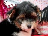 Собаки, щенята Йоркширський тер'єр, ціна 3500 Грн., Фото