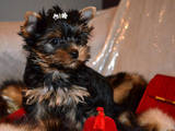 Собаки, щенята Йоркширський тер'єр, ціна 4500 Грн., Фото
