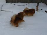 Собаки, щенята Карликовий шпіц, ціна 3000 Грн., Фото