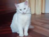 Кошки, котята Турецкая ангора, цена 5 Грн., Фото