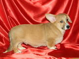 Собаки, щенки Вельш корги пемброк, цена 4900 Грн., Фото