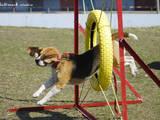 Собаки, щенки Занятия, тренировки, цена 50 Грн., Фото