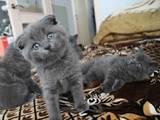 Кошки, котята Шотландская вислоухая, цена 700 Грн., Фото