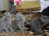 Кішки, кошенята Шотландська висловуха, ціна 700 Грн., Фото
