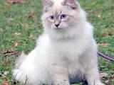 Кошки, котята Невская маскарадная, цена 2000 Грн., Фото