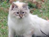 Кішки, кошенята Невськая маскарадна, ціна 2000 Грн., Фото