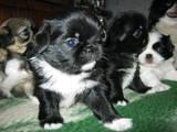 Собаки, щенки Японский хин, цена 500 Грн., Фото