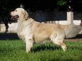 Собаки, щенки Золотистый ретривер, цена 3000 Грн., Фото