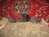 Кошки, котята Британская длинношёрстная, цена 300 Грн., Фото