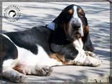 Собаки, щенята Бассет, ціна 500 Грн., Фото