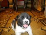 Собаки, щенята Американський акіта, ціна 5000 Грн., Фото