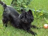 Собаки, щенки Кернтерьер, цена 7000 Грн., Фото