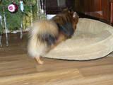 Собаки, щенята Карликовий шпіц, ціна 5000 Грн., Фото