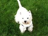 Собаки, щенята Вестхайленд уайт тер'єр, ціна 10 Грн., Фото