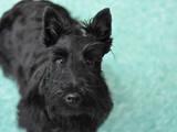 Собаки, щенки Скотчтерьер, цена 1700 Грн., Фото