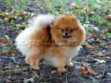 Собаки, щенки Карликовый шпиц, цена 12000 Грн., Фото