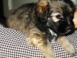 Собаки, щенята Бішон фрісе, ціна 2500 Грн., Фото
