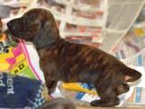 Собаки, щенки Гладкошерстная миниатюрная такса, цена 2500 Грн., Фото