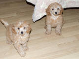 Собаки, щенята Карликовий пудель, ціна 1200 Грн., Фото