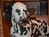Собаки, щенята Далматин, ціна 1500 Грн., Фото