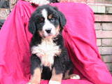 Собаки, щенята Гірський собака Берна, ціна 3500 Грн., Фото
