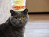 Кішки, кошенята Британська довгошерста, ціна 1000 Грн., Фото