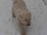 Собаки, щенята Комондор, ціна 10000 Грн., Фото