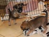 Собаки, щенята Брюссельський гріффон, ціна 7000 Грн., Фото