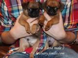 Собаки, щенки Брабантский гриффон, цена 6000 Грн., Фото