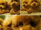 Собаки, щенки Той-пудель, цена 7000 Грн., Фото
