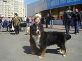 Собаки, щенки Бернская горная собака, цена 1 Грн., Фото