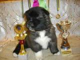 Собаки, щенята Американський акіта, ціна 6000 Грн., Фото
