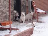 Собаки, щенята Біла Швейцарська вівчарка, ціна 7000 Грн., Фото