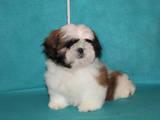 Собаки, щенки Ши-тцу, цена 10000 Грн., Фото