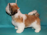 Собаки, щенята Ши-тцу, ціна 10000 Грн., Фото