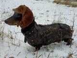 Собаки, щенята Грейхаунд, ціна 2500 Грн., Фото