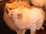Собаки, щенки Малый шпиц, цена 6500 Грн., Фото