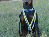 Собаки, щенки Карликовый пинчер, цена 3000 Грн., Фото