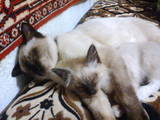 Кішки, кошенята Сіамська, Фото