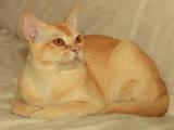 Кошки, котята Бурма, цена 2500 Грн., Фото