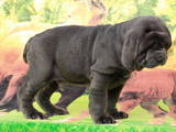 Собаки, щенки Мастино неаполетано, цена 10000 Грн., Фото