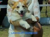 Собаки, щенята Вельш коргі пемброк, ціна 5000 Грн., Фото