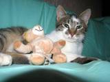 Кішки, кошенята Європейська короткошерста, ціна 10 Грн., Фото