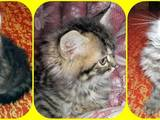 Кошки, котята Персидская, цена 450 Грн., Фото