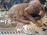 Собаки, щенки Венгерская выжла, цена 600 Грн., Фото