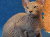Кошки, котята Донской сфинкс, цена 1600 Грн., Фото