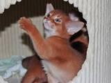 Кішки, кошенята Абіссінська, ціна 8000 Грн., Фото